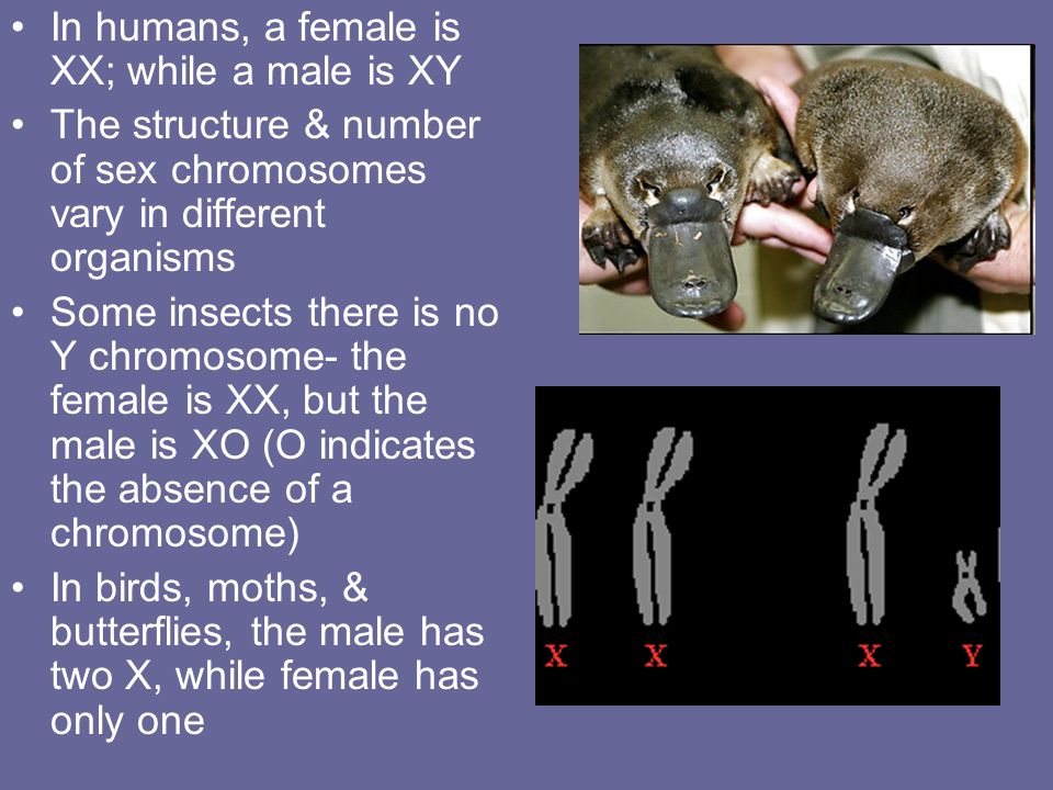 In humans, a female is XX; while a male is XY