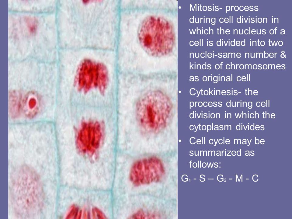 Mitosis- process during cell division in which the nucleus of a cell is divided into two nuclei-same number & kinds of chromosomes as original cell