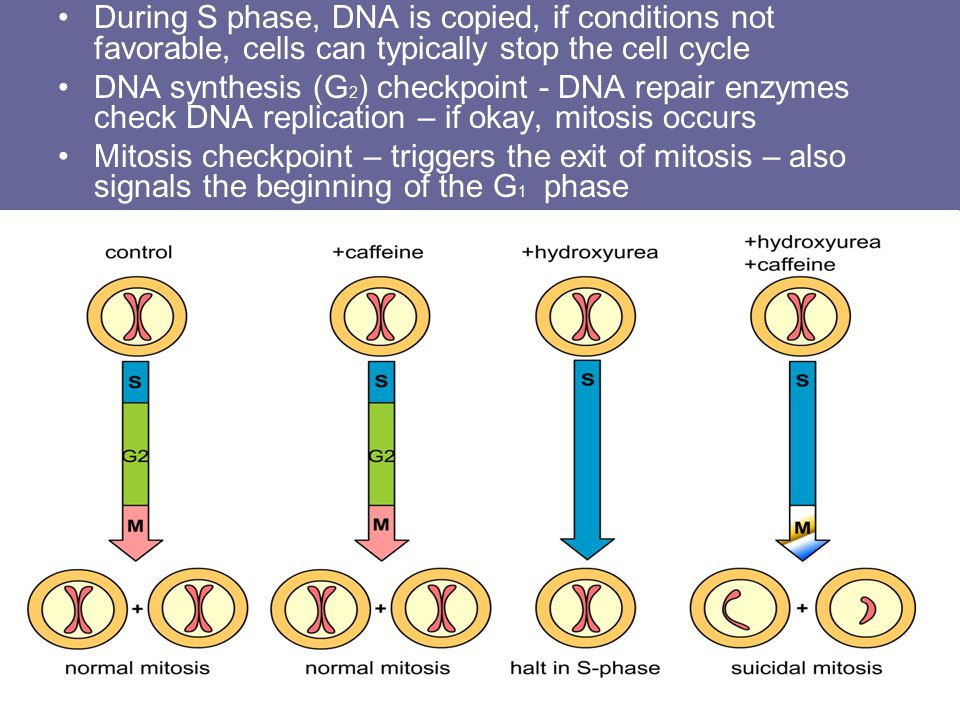 During S phase, DNA is copied, if conditions not favorable, cells can typically stop the cell cycle