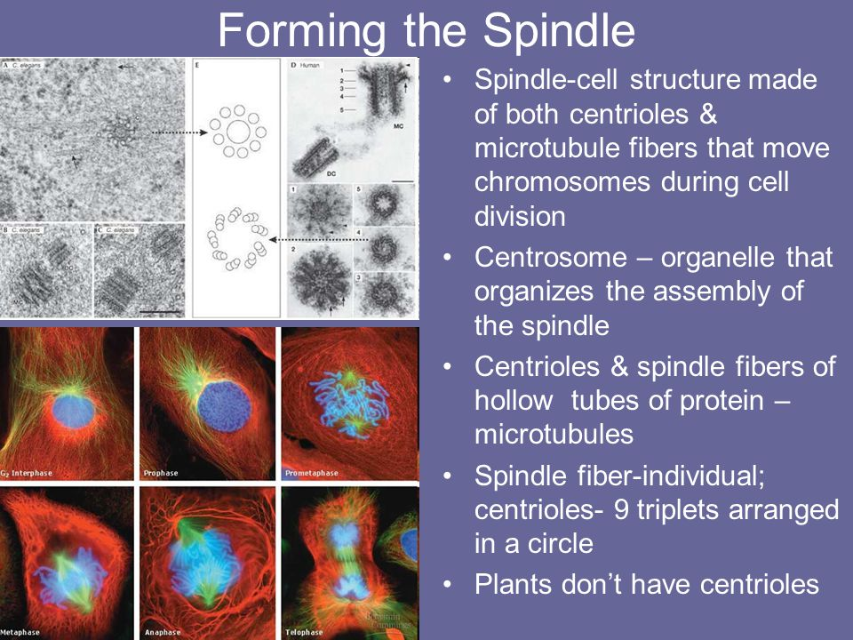 Forming the Spindle Spindle-cell structure made of both centrioles & microtubule fibers that move chromosomes during cell division.