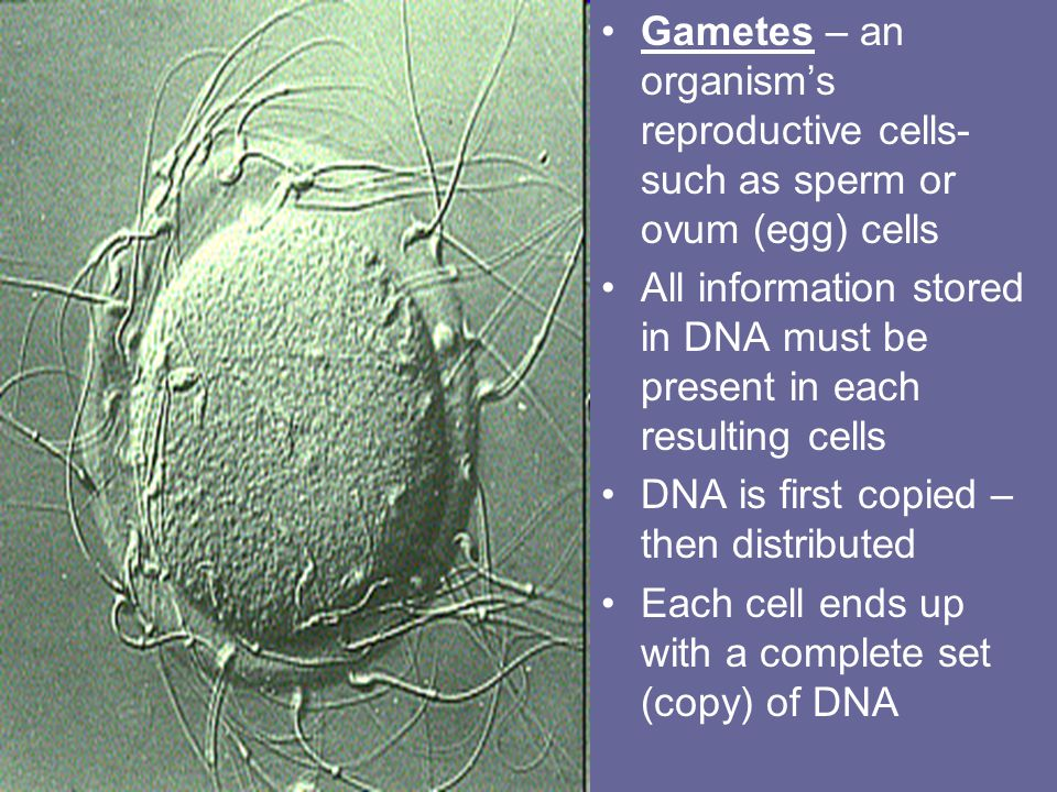 Gametes – an organism's reproductive cells- such as sperm or ovum (egg) cells