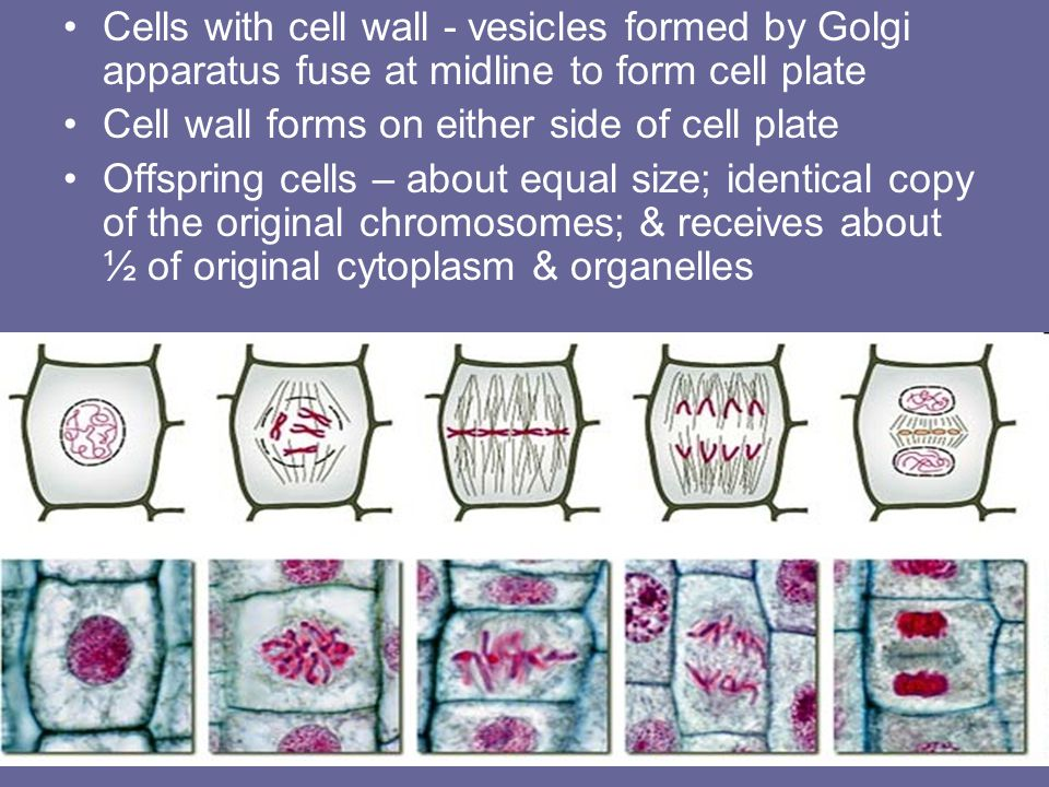 Cells with cell wall - vesicles formed by Golgi apparatus fuse at midline to form cell plate