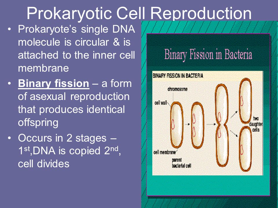 Prokaryotic Cell Reproduction
