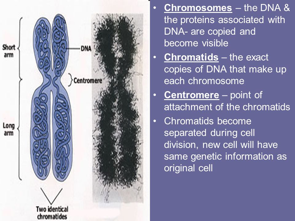 Chromosomes – the DNA & the proteins associated with DNA- are copied and become visible