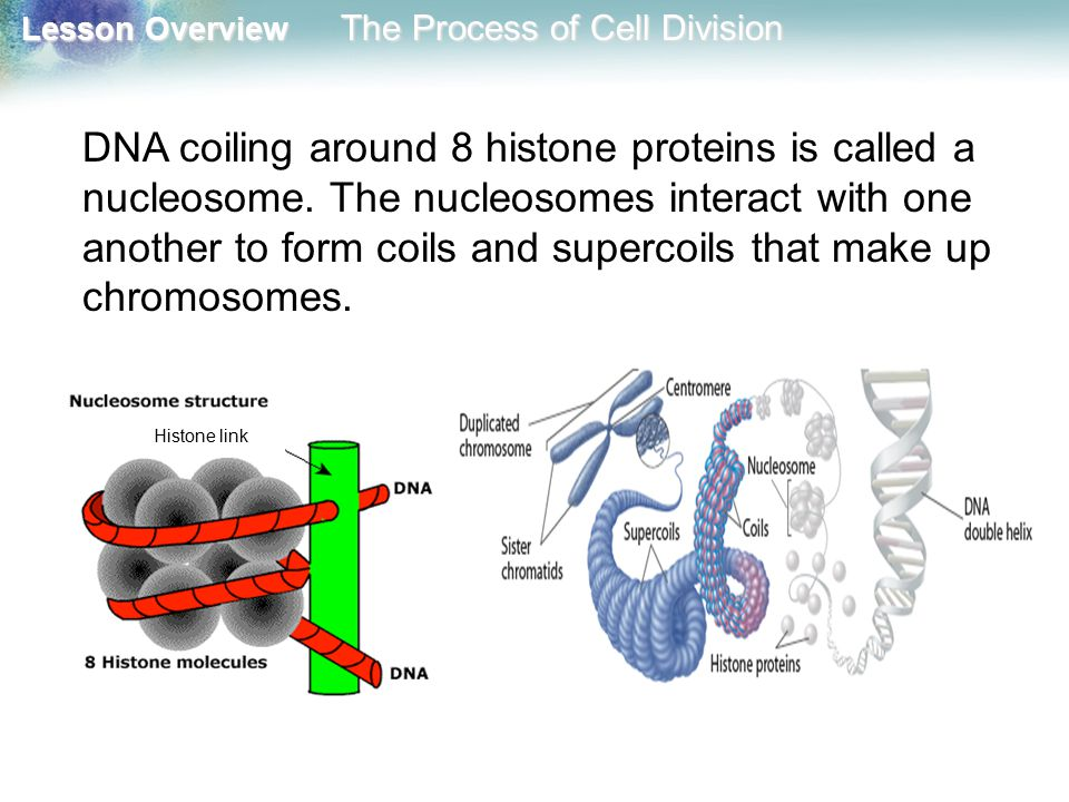 DNA coiling around 8 histone proteins is called a nucleosome