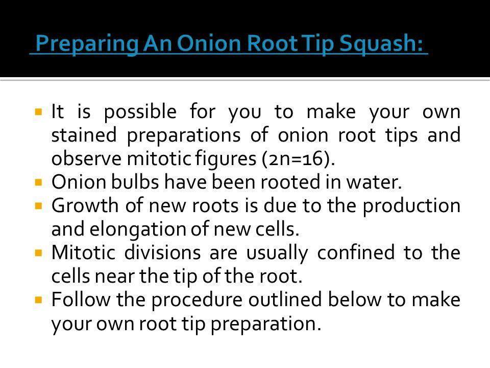 Preparing An Onion Root Tip Squash: