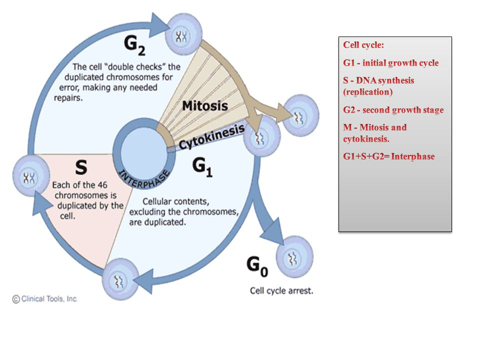 Cell cycle: G1 - initial growth cycle. S - DNA synthesis (replication) G2 - second growth stage.