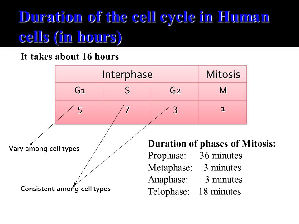 Duration of the cell cycle in Human cells (in hours)