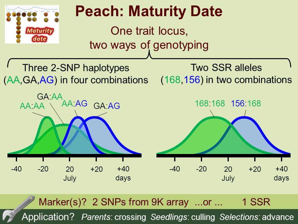 Peach: Maturity Date One trait locus, two ways of genotyping
