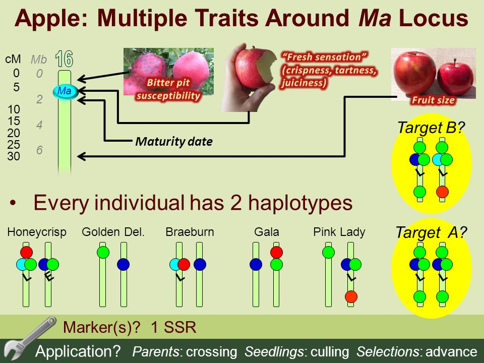 Apple: Multiple Traits Around Ma Locus