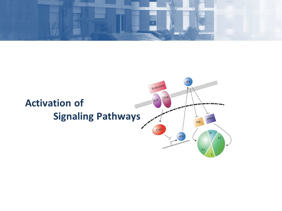 Activation of Signaling Pathways