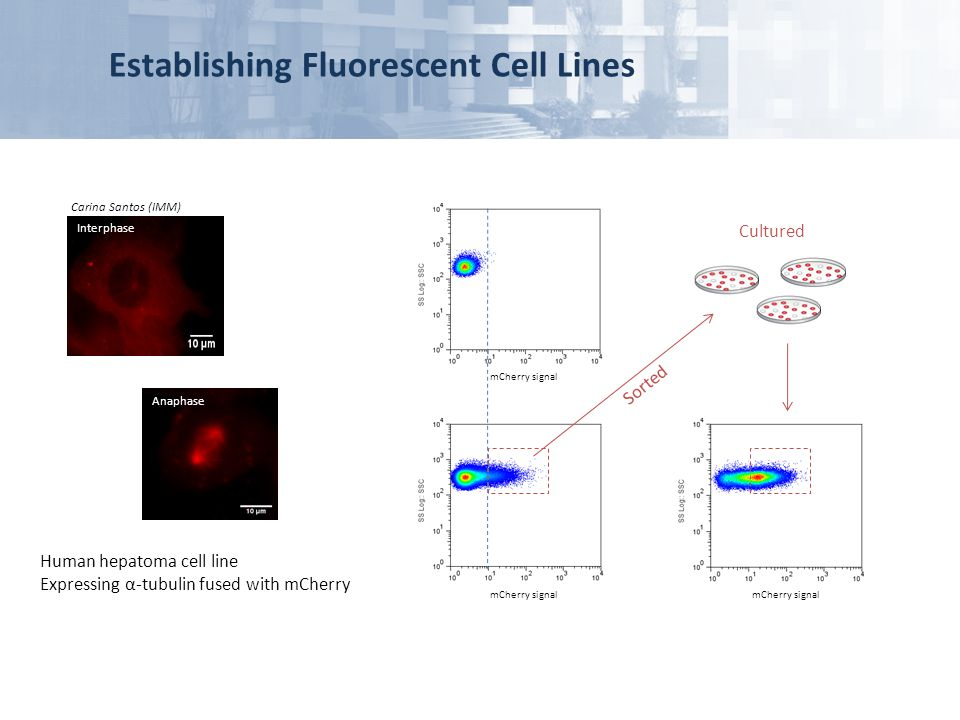 Establishing Fluorescent Cell Lines