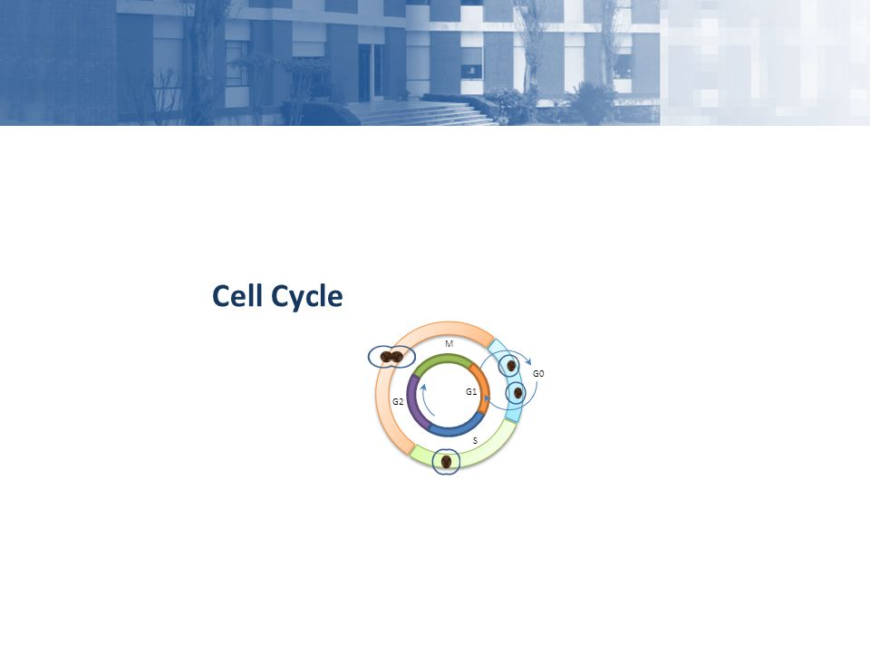 Cell Cycle G2 M G1 S G0