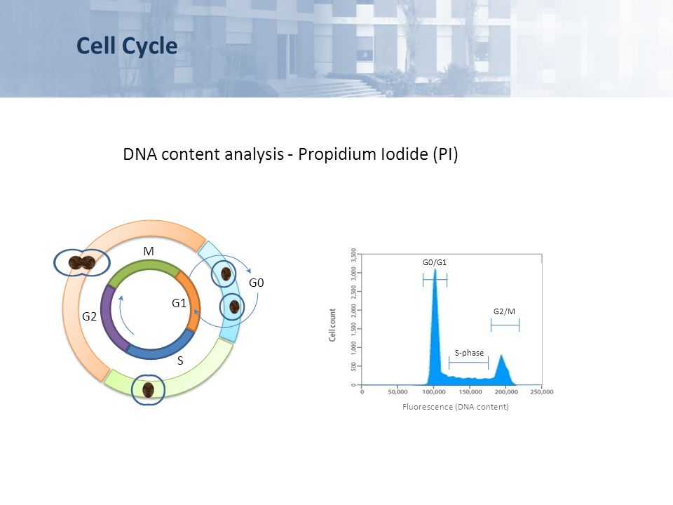 Cell Cycle DNA content analysis - Propidium Iodide (PI) M G0 G1 G2 S