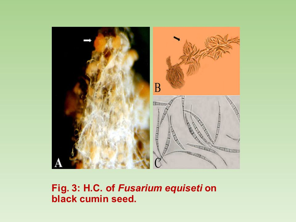 Fig. 3: H.C. of Fusarium equiseti on black cumin seed.