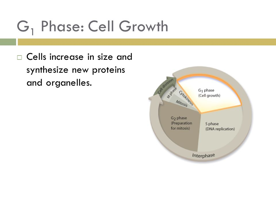 G1 Phase: Cell Growth Cells increase in size and synthesize new proteins and organelles.