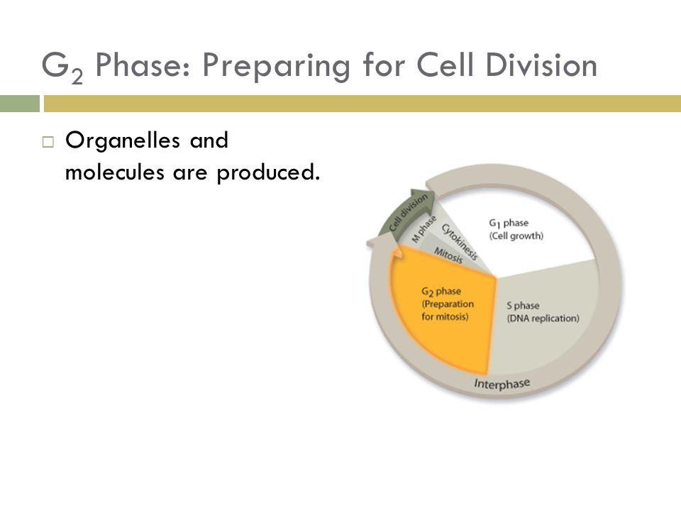 G2 Phase: Preparing for Cell Division