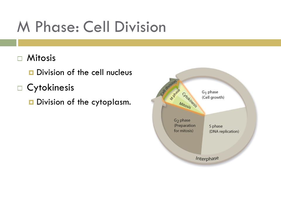 M Phase: Cell Division Mitosis Cytokinesis