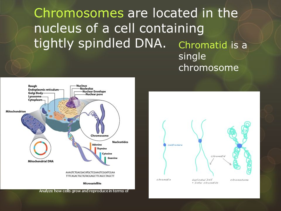 Chromosomes are located in the nucleus of a cell containing tightly spindled DNA.