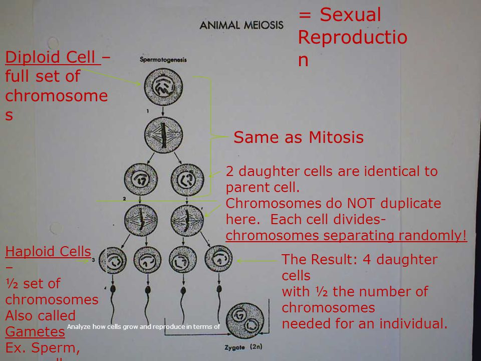 = Sexual Reproduction Diploid Cell – full set of chromosomes