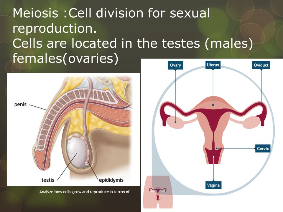 Meiosis :Cell division for sexual reproduction