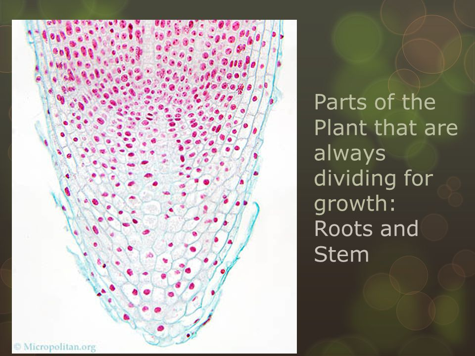 Parts of the Plant that are always dividing for growth: Roots and Stem