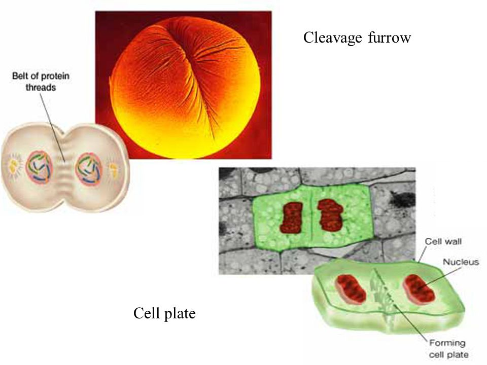 Cleavage furrow Cell plate