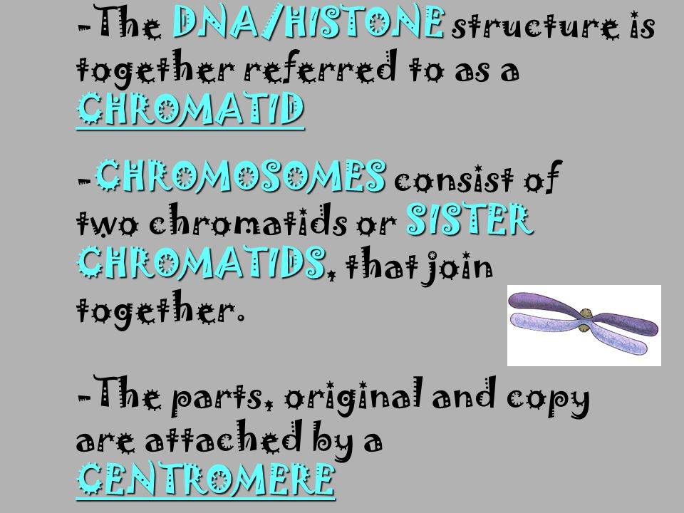 -The DNA/HISTONE structure is together referred to as a CHROMATID