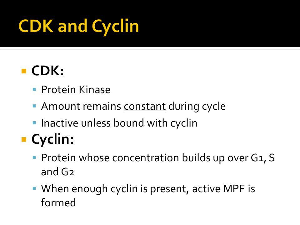 CDK and Cyclin CDK: Cyclin: Protein Kinase