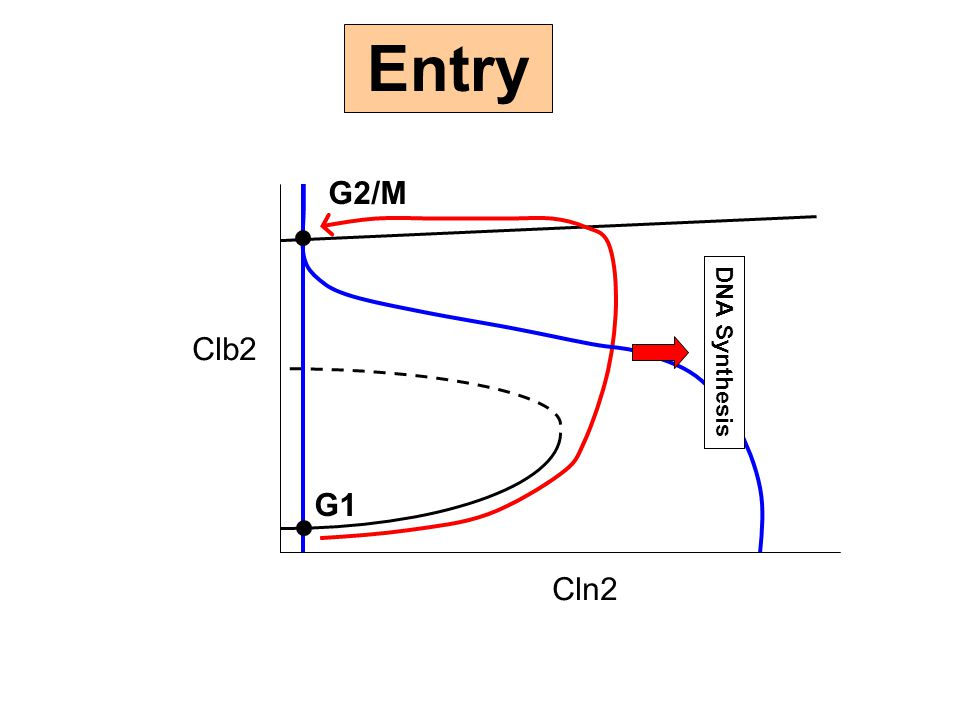 Entry G2/M Clb2 Cln2 DNA Synthesis G1
