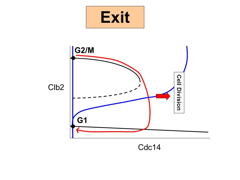 Exit G2/M Clb2 Cdc14 Cell Division G1