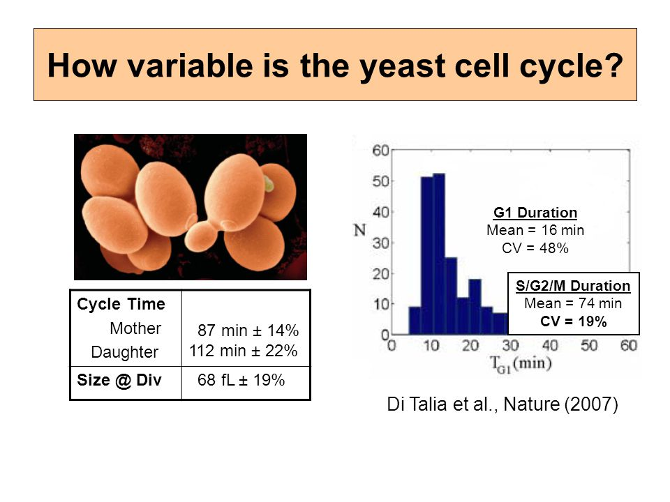 How variable is the yeast cell cycle
