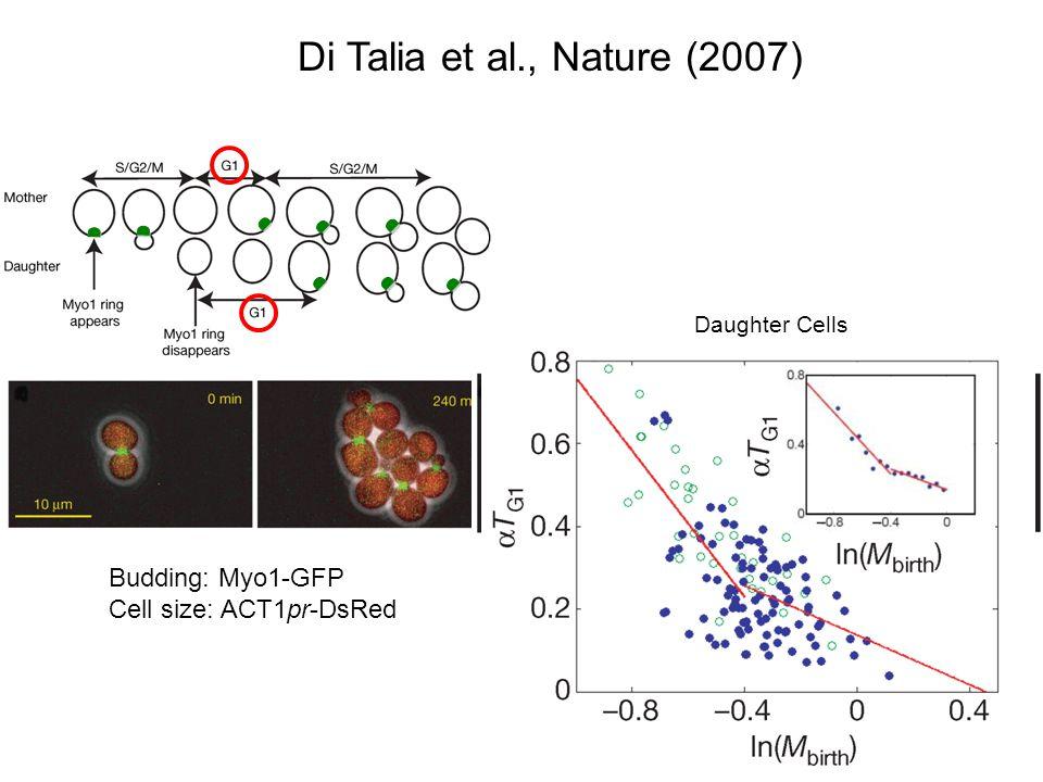 Di Talia et al., Nature (2007) Budding: Myo1-GFP Whi5 exit: Whi5-GFP