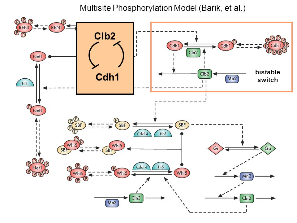 Clb2 Cdh1 Multisite Phosphorylation Model (Barik, et al.) bistable