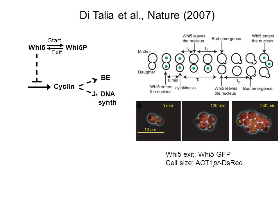 Di Talia et al., Nature (2007) Whi5 Whi5P BE Cyclin DNA synth