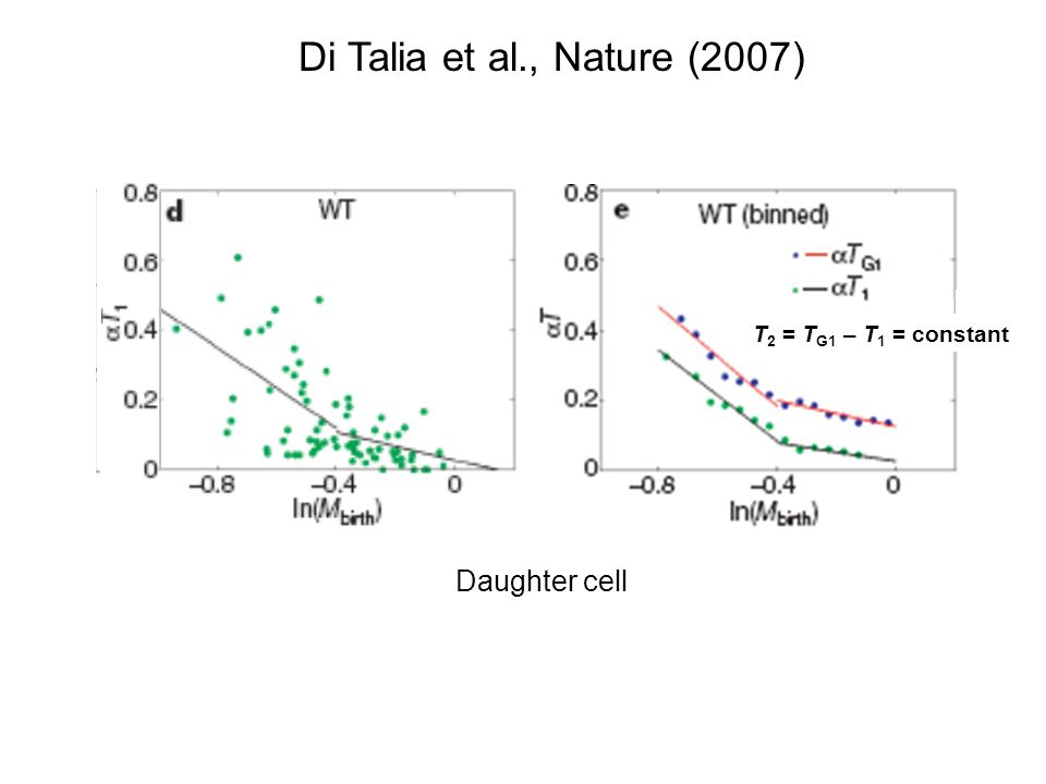 Di Talia et al., Nature (2007) T2 = TG1 – T1 = constant Daughter cell