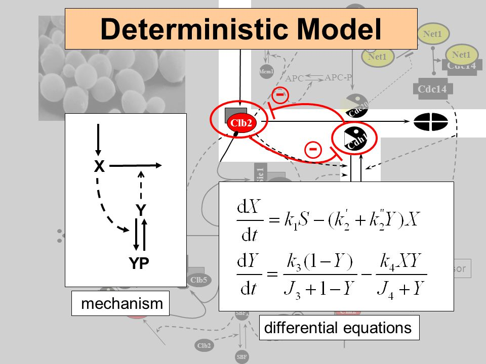 Deterministic Model - - X Y YP mechanism differential equations P