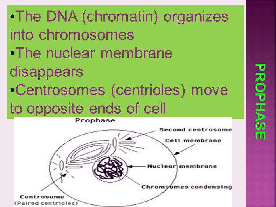 The DNA (chromatin) organizes into chromosomes