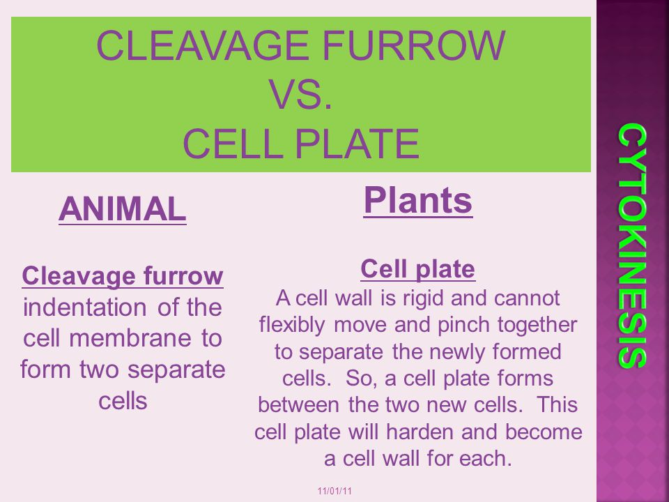 Cleavage furrow indentation of the cell membrane to form two separate
