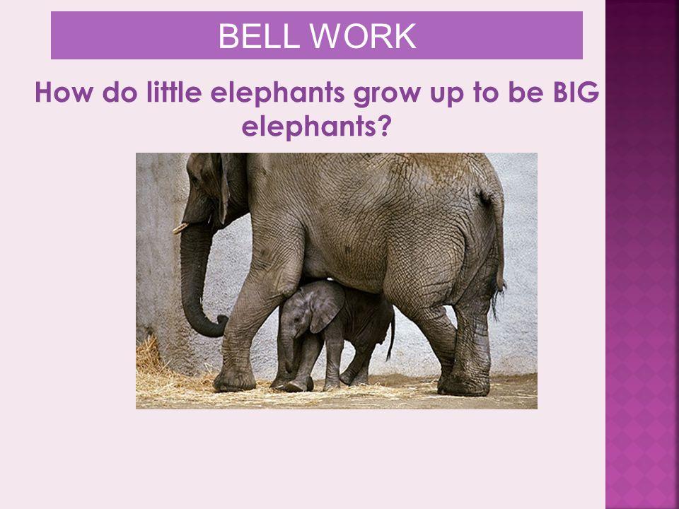 How do little elephants grow up to be BIG elephants