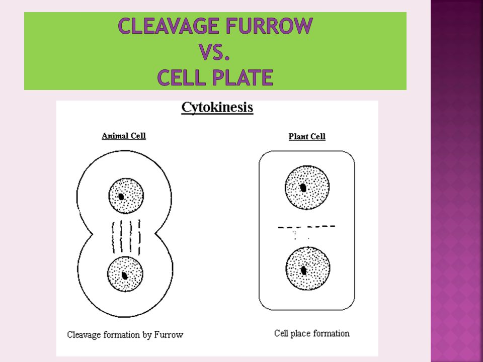 CLEAVAGE FURROW VS. CELL PLATE