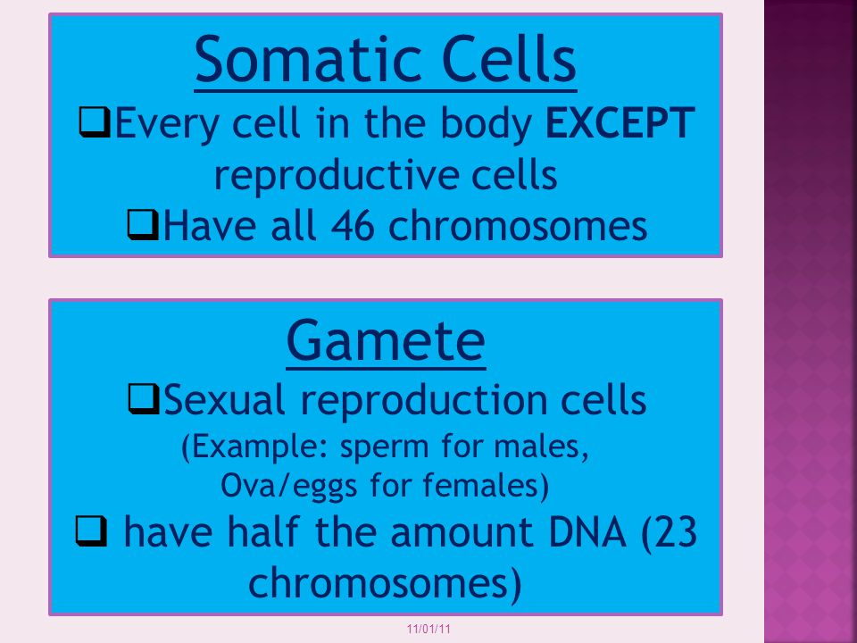 Somatic Cells Gamete Every cell in the body EXCEPT reproductive cells