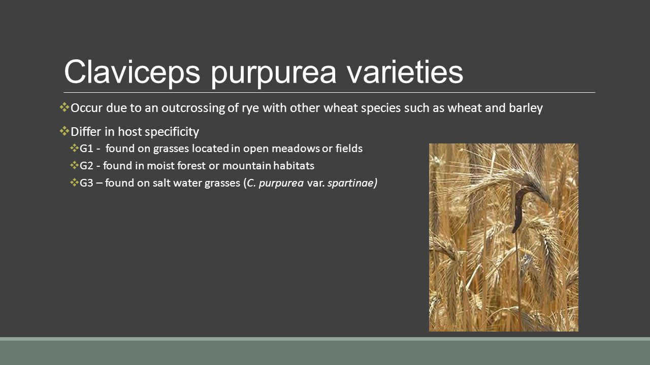 Claviceps purpurea varieties