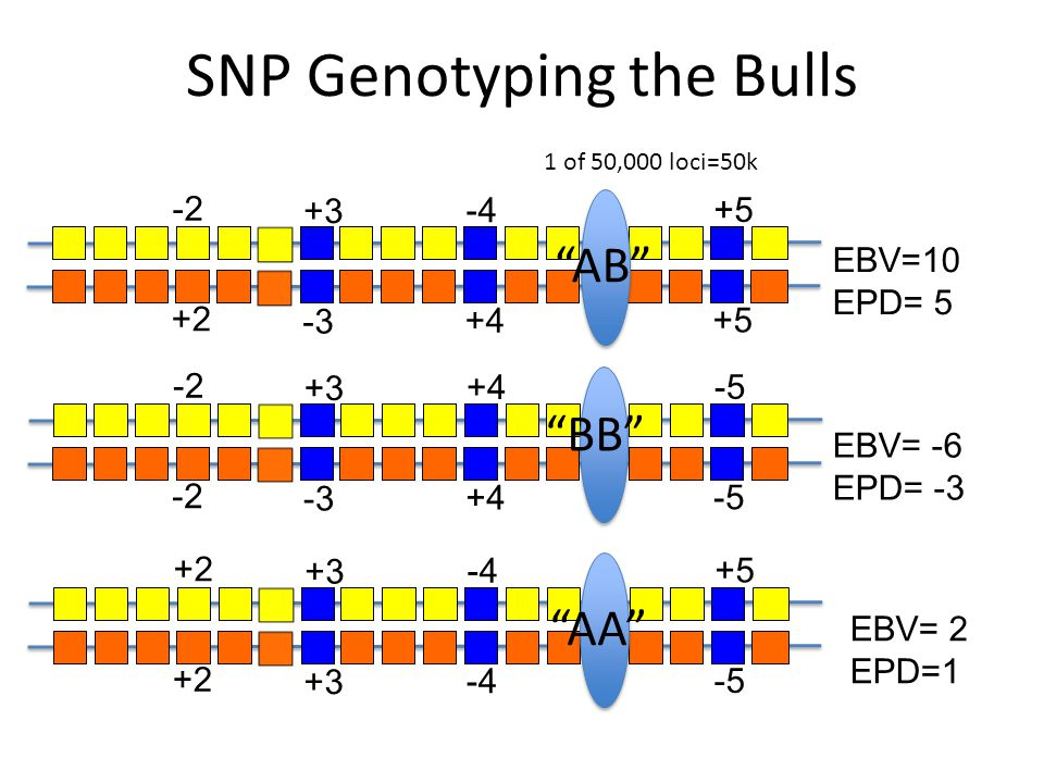 SNP Genotyping the Bulls