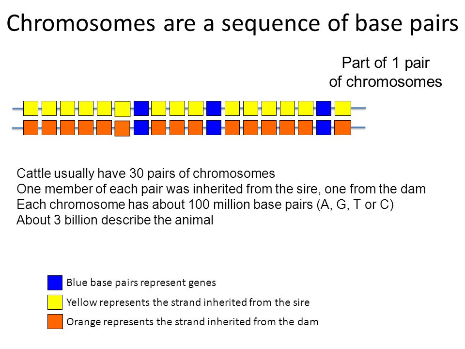 Chromosomes are a sequence of base pairs