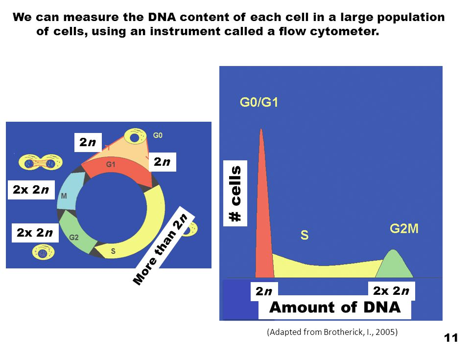 We can measure the DNA content of each cell in a large population of cells, using an instrument called a flow cytometer.
