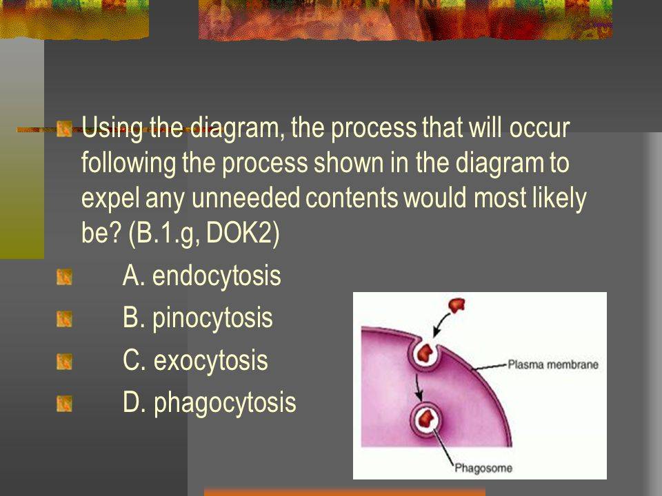 Using the diagram, the process that will occur following the process shown in the diagram to expel any unneeded contents would most likely be (B.1.g, DOK2)