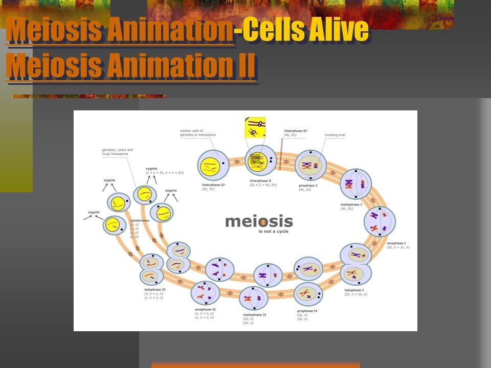 Meiosis Animation-Cells Alive Meiosis Animation II