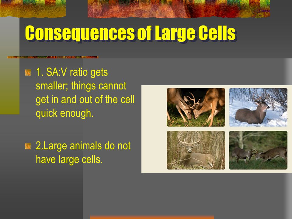 Consequences of Large Cells