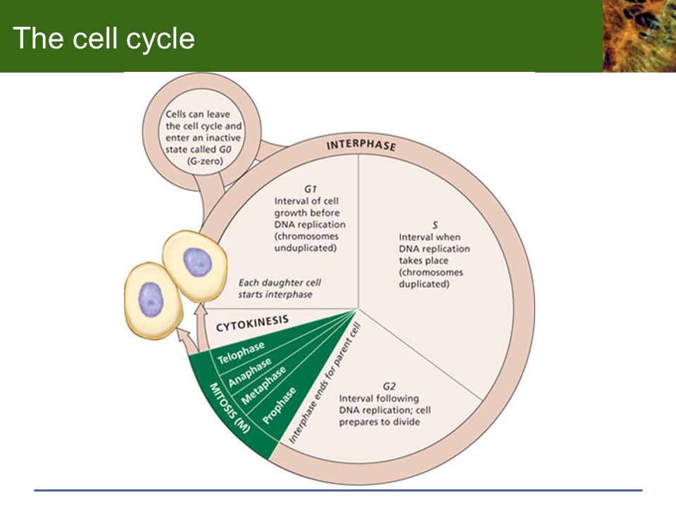 The cell cycle Beginning with G1 or Gap 1, this is a growth phase where all of the cell components except the chromosomes are duplicated.